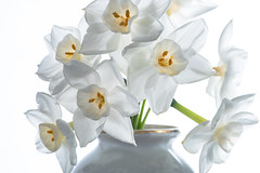 Paperwhites, Narcissus Tazetta Ziva (ClintHeeeerod) Tags: flower bloom bulb spring paperwhites white yongnuo nikon d750 speedlite nikkor 105mmf28 macro highkey vase stilllife seerule2