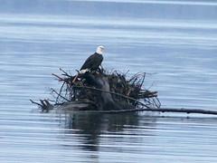 Bald eagle enjoys king tides in Tacoma (Engage Northwest) Tags: tacoma eagle waterfront wa wildlife nature northwest piercecounty pnw pugetsound pacificnorthwest southsound hightide kingtides tide baldeagle