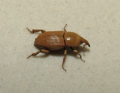 Besouro Bicudo (Beetle) (Hélio Paranaíba Filho) Tags: nature natureza inseto insetos insect insects bug bugs beetle besouro bicudodacana besourobicudo sphenophorus coleoptera curculionoidea curculionidae rhynchophorinae escaravelho scarabaeidae dynastinae cyclocephala