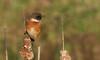 Stonechat (Saxicola torquata) (Sandra Standbridge.) Tags: stonechat saxicolatorquata bird animal wildandfree wild nature outdoor bulrush perched fauna plant
