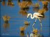 Θεσσαλονίκη Καλοχώρι Λιμνοθάλασσα  Φοινικόπτερο !!! (Spiros Tsoukias) Tags: hellas thessaloniki flamingos καλοχώρι δήμοσ δέλτα φοινικόπτερα ερωδιοί αργυροπελεκάνοι βαρβάρεσ γεράκια πάπιεσ φαλαρίδεσ θεσσαλονίκη ορνιθοπανίδα πάρκοκέρκυρασ υδρόβιαπτηνά γαλλικόσ αξιόσ λουδίασ αλιάκμονασ εθνικόπάρκο δέλτααξιού ελλάδα μακεδονία πουλιά λιμνοθάλασσα φύση ποτάμια greece macedonia birds lagoon nature rivers grecia uccelli laguna natura fiumi griechenland mazedonien vögel lagune natur flüsse grèce macédoine oiseaux rivières греция македония птицы лагуна природа реки φλαμίνγκο