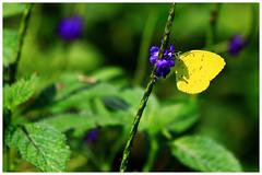 淡色黃蝶   Eurema Andersoni Godana (Alice 2018) Tags: 2017 hongkong bokeh green butterfly yellow canon canoneos7d eos7d nature canonef70200mmf4lisusm plant autumn purple flower insect
