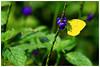淡色黃蝶   Eurema Andersoni Godana (Alice 2018) Tags: 2017 hongkong bokeh green butterfly yellow canon canoneos7d eos7d nature canonef70200mmf4lisusm plant autumn purple flower insect aatvl01