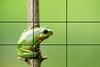 rule of thirds (kyle.funk2019) Tags: amphibians animals blick closeup exotisch farbe frogs frosch gr u00fcn h u00fcbsch isoliert laubegg little makro natur schauend sit sitzend tier tropisch unke watching wei u00df wildlife laubfrosch grün top schön freigestellt sauber ast germany
