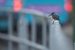 Urban Kingfisher (Daniel Trim) Tags: alcedo atthis urban king fisher kingfisher hertfordshire uk england city town lights light nature wildlife animals photography photo