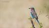 Lilac-breasted roller (Raymond J Barlow) Tags: africa tanzania roller lilacbreasted travel adventure phototours raymondbarlow bird