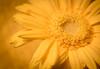 23/365 - Mellow yellow (EYeardley) Tags: gerbera daisy flower pretty mellowyellow yellow nikon nikond3300 sigma 3652018 365 day23 23rdjanuary2018 closeup flowercloseup bright