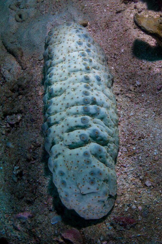 Sea cucumber as food