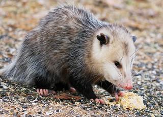 Virginia opossum at Lake Meyer Park IA 854A9450