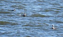 LTDs (caboose_rodeo) Tags: 8434 ducks longislandsound calfpasturebeachnorwalkct birds shorebirds divingduck