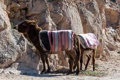 Donkey (KPPG) Tags: 7dwf fauna esel marokko morocco africa afrika donkey tiere animals