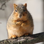 Squirrels in Ann Arbor at the University of Michigan (February 6th, 2018) thumbnail