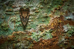 A Bark-resting Moth, Singapore (singaporebugtracker) Tags: singaporebugtracker mimicry horror creepy bark face camouflage crypticmoth markings pattern moth geometrid noctuid