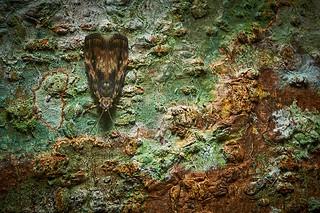 A Bark-resting Moth, Singapore