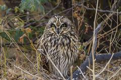 Short-eared Owl (Asio Flammeus) is a species of typical owl (family Strigidae) (mihir_dhandha) Tags: owl shortearedowl asioflammeus asio nocturnalbirds lrk littlerannofkutch wildlife wildlifephotography birding birdphotography canon canonindia canonasia canon7d canoneos tamron tamronindia tamronlens tamron150600 tamron150600g2