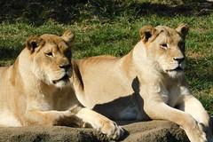 Memphis Zoo (Tiger_Jack) Tags: memphiszoo memphis zoos itsazoooutthere nikon nikoncoolpix nikoncoolpixb500 zoosofnorthamerica flickrbigcats bigcats zoo bigcat exoticcat exoticcats lion lions