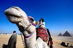 The Camel (Gwenaël Piaser) Tags: january 2018 janvier january2018 egypt egypte chameau camelus dromadaire pyramids ryan sabrina unlimitedphotos gwenaelpiaser canon eos 6d canoneos eos6d canoneos6d fullframe 24x36 reflex rawtherapee 1740mm ef1740mmf4lusm canonef1740mmf4lusm seriel zoom lseries wideangle portrait animal giza gizeh tourist gizèh gîza guizèh الجيزة camel camelidae camélidés جمهوريةمصرالعربية arabrepublicofegypt ⲭⲏⲙⲓ مَصر maṣr مِصر miṣr 1000
