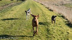new buddies (RCB4J) Tags: ayrshire rcb4j ronniebarron scotland sony1650mmf28dtssm sonyilca77m2 vizsla art dogs flooddefences galston photography playing running