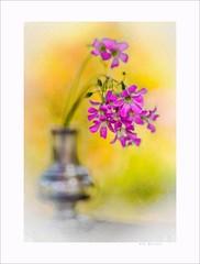 Afternoon with flower queen (Krasne oci) Tags: stilllife flowerart flowers vase sterling pinkflowers artphoto photographicart bokeh macro evabartos