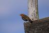 PGH58512 (klangcharakter) Tags: hochsitz geländer hochsitzgeländer natur rotkehlchen vogelbeobachtung panasonic gh5 mft lumix leica elmar 100400mm f4063 iso200 1800sek wildsachsen hofheim taunus hessen wald