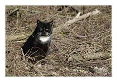 Black panther (db_copyright photography) Tags: pontàmousson nature chasseur chatnoir minou cat billebaude chat