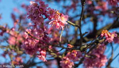 Pink & Yellow (M C Smith) Tags: pink blue sky bokeh yellow branches tree pentax k3