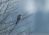 Great Grey Shrike Gloucestershire 25-02-2018-2640 (seandarcy2) Tags: shrike greatgrey birds wildlife winter visitors gloucestershire hawling uk