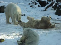 IJsberen. (Loekje19) Tags: ijsberen akiak sura huggies