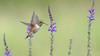 Perusing Natures Pantry (photosauraus rex) Tags: bird rufous hummingbird rufoushummingbird selasphorusrufus vancouver bc canada