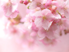 Sweet Sweet Sweet (Tomo M) Tags: kawazucherryblossoms pink bokeh spring chrry blooming 河津桜 bright blur nature dreamy soft pastel