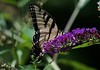 Summer visitor! (ineedathis, Everyday I get up, it's a great day!) Tags: butterfly eastertigerswallowtail pappilloglaucus insect lepidoptera bokeh butterflybush buddleiadavidii flower purple zoom butterflygarden summer nature nikond750