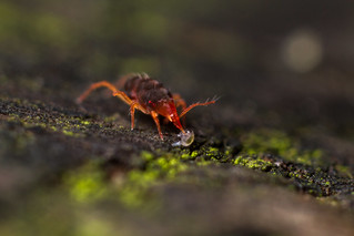 Bdellid snout mite with Katianniddae globby prey