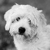 Milo14Jan201811-Edit.jpg (fredstrobel) Tags: pets animals blackandwhite dogs phototype pawsdogs decatur georgia unitedstates us