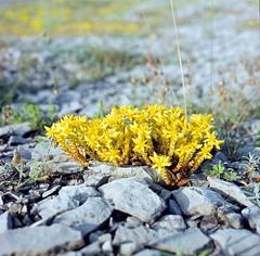 Sedum acre Scharfer Mauerpfeffer goldmoss stonecrop