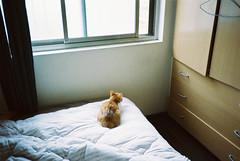 (埃德溫 ourutopia) Tags: film kodak colorplus kodakcolorplus200 kodak200 yashica t2 t3 t4 t5 filmphotography analog analogphotography bed room cat mew meow neko window light sunshine ねこ 猫 フィルム