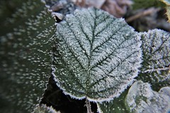 Frosted Leaf (pshep1) Tags: leaf frost bramble hedgerow winter