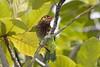 Brown Headed Barbet (arthurpolly) Tags: avian birds beautiful canon 7dmk2 100400is eos elements13 holiday nature natureselegantshots nationpark barbet photoshop srilanka travel tour touring topshot wildlife exotic yala