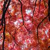 Reaching (stuigi) Tags: japan kyoto nature tree japanese maple acer autumn leaves golden brown