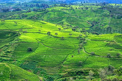 Hill of Tea (Jokoleo) Tags: agricultural activity agriculture bandung color image crop east asian culture evergreen tree farm field green hill horizontal indonesia layered morning mountain nature no people outdoors photography plantation sunrise dawn tea tranquility travel village west java