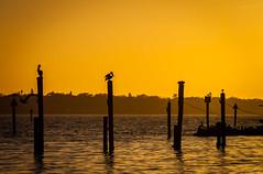 Pelicans at the Pier (Cracked_Lens) Tags: pelican pelicans sunset floridasunset sun sky skyart skyporn skyonfire orangesky floridasky floridanature florida silhouette orange black