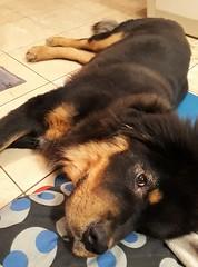 25519773_1171297516339338_515912870_n (1) (natedetienne) Tags: ash tibetan mastiff puppy tm