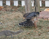 WTF!!! (Mike Matney Photography) Tags: 2018 canon eos7d illinois january midwest troy backyard bird birdofprey birds hawk raptor unitedstates us