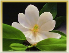 Heaven scent!  Looking forward to May. (DonaSite) Tags: magnolia blossom wonderful scent