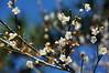 DSC03402 (青色琉璃) Tags: 鐵木瀑布 瀑布 水 藍 梅 梅花 橡樹 楓葉 楓紅 天空 白色 樹 冬天 1月 一月 羅孚