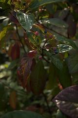 jdy262XX20170919a0468Bias-2 stops.jpg (rachelgreenbelt) Tags: ghigreenbelthomesinc familyadoxaceae usa eudicots greenbelt northamerica midatlanticregion ouryard orderdipsacales asteridsclade campanulidsclade maryland americas viburnum magnoliophyta adoxaceae adoxaceaefamily asterids dipsacales dipsacalesorder floweringplants spermatophytes