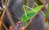 Katydid in August (ctberney) Tags: northernbushkatydid scudderiaseptentrionalis tettigoniidae bushcricket leafbug insect bug green nature