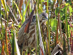 American Bittern in camouflage (c) 2017 Celecia Pinnock. All rights reserved.