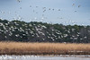 Blackwater_NWR 180113-39 (wiley_coyote7) Tags: animals bird blackwaternwr nationalparks snowgeese