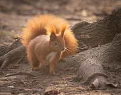 By a tree (hedera.baltica) Tags: squirrel redsquirrel eurasianredsquirrel wiewiórka wiewiórkapospolita sciurusvulgaris