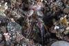 This blue spot mantis shrimp (Haptosquilla stoliura) matches his surroundings exceptionally well. (jonmcclintock) Tags: mantisshrimp adventure rajaampat travel macro thingsinholes underwater indonesia scuba diving